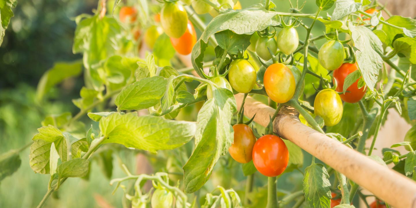 A tomato plant filled with different sizes and colors of tomatoes.